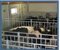 Skup żywca wołowego